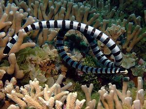 Poisonous Krait